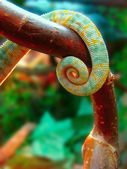 Tail chameleon — Stock Photo