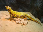 Uromastyx aegyptius — Stock Photo
