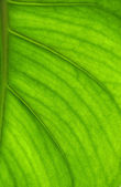 Detailed leaf in back-light — Stock Photo