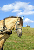 Portrait of horse and windmill — Stock Photo