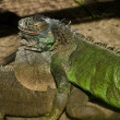 Iguana lizards — Stock Photo