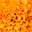 Orange flower — Stock Photo