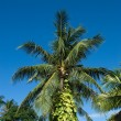 Coconut palm tree — Foto Stock