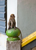 Macaque monkey — Stock Photo