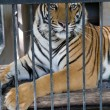 Stock Photo: Caged tiger
