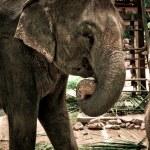 Elephant — Stock Photo #2730797