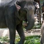 Elephant — Stock Photo #2730810