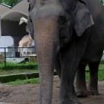 Elephant — Stock Photo #2730860