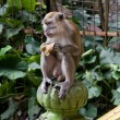 Macaque monkey — Stockfoto