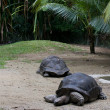 Stock Photo: Gigant turtles
