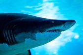 Shark — Stock Photo