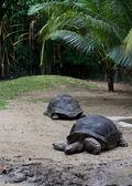 Gigant turtles — Stock Photo