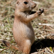 Prairie dog — Stock Photo #3471330