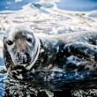 Seal — Stock Photo #3603128