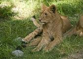 小狮子 — 图库照片