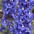 Delphinium blue — Stock Photo
