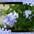 Blue Flowers art Plumbago - Stock Photo