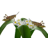 Grasshoppers and plumeria isolated — Stock Photo