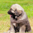 Sarplaninec, Macedonian shepherd dog - Foto de Stock  