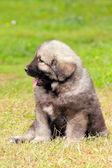 Sarplaninec, Macedonian shepherd dog — Stock Photo