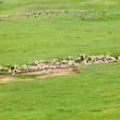 Herd of sheep — Foto Stock