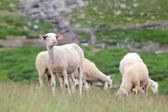 Herd of sheep — Foto de Stock