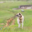 Shepherd dog - Foto de Stock