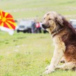 Shepherd dog - Stockfoto