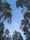 Vrcholky stromů proti obloze — Stock fotografie