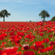 Stock Photo: Corn poppy area