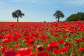 Corn poppy area — Stock Photo