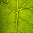 Stock Photo: Green leaf structire