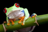 Red-eyed frog on bamboo — Stock Photo