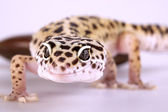 Gecko closeup — Stock Photo