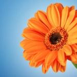 Orange Daisy Gerbera Flower on blue — Stock Photo