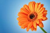 оранжевый цветок ромашка гербера на синем — Стоковое фото