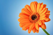 Flor de gerbera daisy laranja sobre azul — Foto Stock