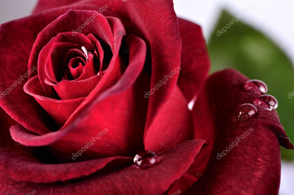 Beautiful red rose with rain drops, close up — Stock Photo #2695385