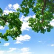 Stockfoto: Summer branch with blue sky and clouds, copyspace