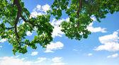 Filial de verão com céu azul e nuvens, copyspace — Foto Stock