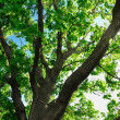 Summer, big green fresh tree branch — Foto Stock
