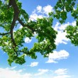 Summer branch with blue sky and clouds, copyspace — Stockfoto