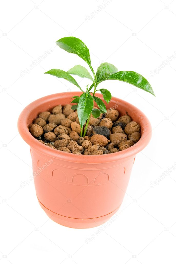Plant at flowerpot isolated on white  Stock Photo #2744851