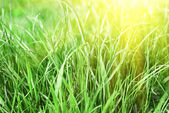 Natural grass sunset background — Stock Photo
