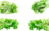 Green lettuce set — Stock Photo