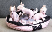Chinese crested puppy dogs — Stock Photo