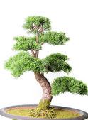 Bonsai tree — Stock Photo