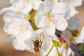 Honey bee and cherry blossoms — Stock Photo
