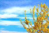 Forsythia in bloom — Stock Photo