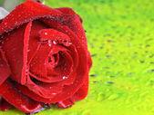 Bella rosso rosa con gocce di rugiada — Foto Stock
